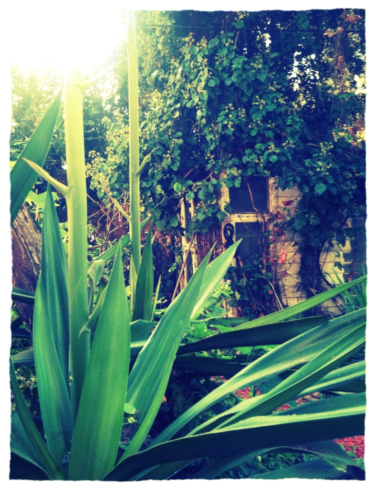 agaveplant