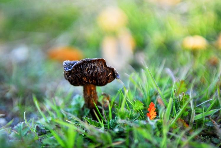 mushroomleaf