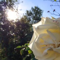 whiterose-2